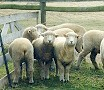 Group of Corriedale Sheep