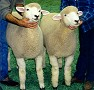 Pair of Corriedale Ewe Lambs